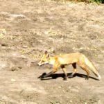 На Дону пройдет иммунизация диких животных