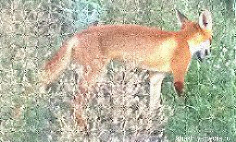 В Ростовской области появились бешеные кошки и лисы