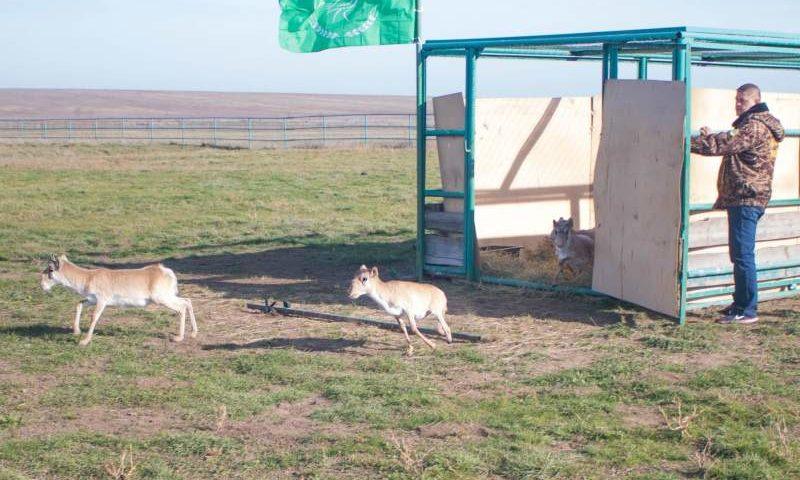 На Дону восемь сайгаков выпустили из питомника